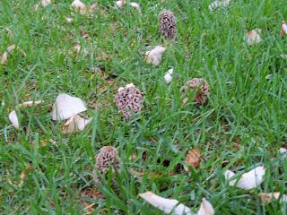 morel mushrooms in the ground