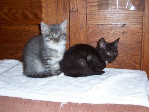 one gray and one black kitten