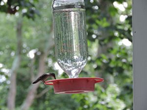 Hummingbird feeding at red feeder