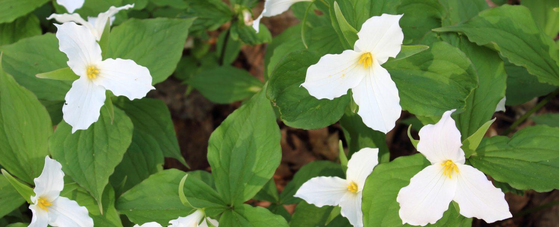 blossoming trillium flowers.