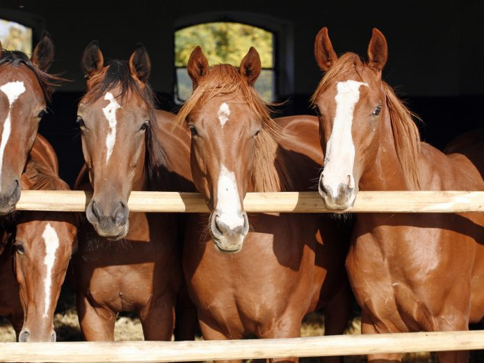 Group of brown horses looking over a stable door at a horseback riding location in Ohio.